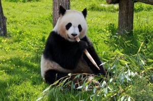panda-206297_1920