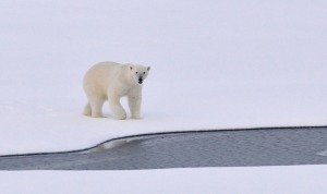 polar-bear-1574996_1280